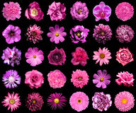 Collage of natural and surreal pink flowers 30 in 1. Peony, dahlia, primula, clove, chrysanthemum, cornflower, flax, pelargonium, marigold, tulip isolated on Royalty Free Stock Images