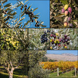 Collage of olive trees Stock Images