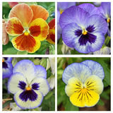 Collage with 4 pansy flowers (3) Stock Image