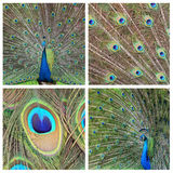 Collage - peacock Royalty Free Stock Images