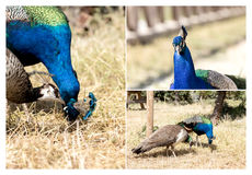 Collage of peacocks. A pair of peacocks walk in the park in the mountains close-up stock photos