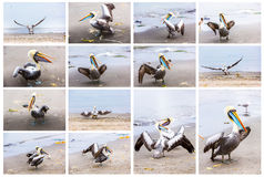 Collage of pelicans on Ballestas Islands,Peru South America in Paracas National park.Flora and fauna Stock Photos