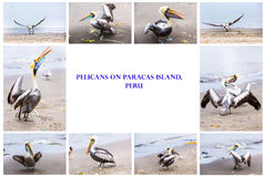 Collage of pelicans on Ballestas Islands,Peru South America in Paracas National park.Flora and fauna Royalty Free Stock Image