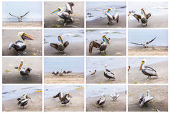 Collage of pelicans on Ballestas Islands,Peru South America in Paracas National park.Flora and fauna Stock Image