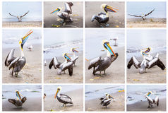 Collage of pelicans on Ballestas Islands,Peru South America in Paracas National park.Flora and fauna Stock Photo