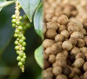 Collage of pepper fruit (lat. Piper nigrum). Collage of unripe pepper fruit (lat. Piper nigrum) and ripe pepper Stock Image