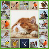 Collage with Persian kitten and birds. Collage with image of muzzle red Persian kitten and different birds Royalty Free Stock Image