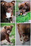 Collage of photos of a brown dog Stock Photo
