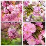 Collage with photos cherry blossom branch Royalty Free Stock Image