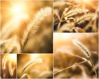 Collage of photos with setaria under the sunlight Royalty Free Stock Photos