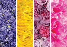 Collage picture of different flowers and plants. Blue hyacinths, yellow gerberas, lilac roses and carnations, pink peonies stock photography