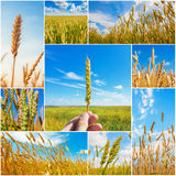 Collage of pictures with wheat ears. In summertime Stock Photo