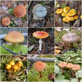 Collage of poisonous mushrooms Stock Photography