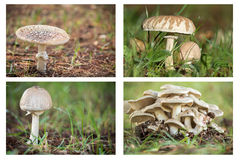 Collage of poisonous mushrooms Royalty Free Stock Images