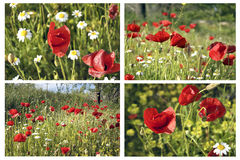 Collage with poppies Stock Image