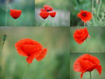 Collage of poppy flower royalty free stock images