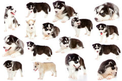Collage puppy a husky, isolated. Stock Images