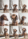 Collage Red dachshund dog on wooden table Royalty Free Stock Image