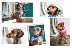 Collage Red dachshund dog on wooden table Royalty Free Stock Photography