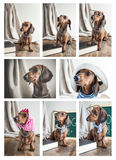Collage Red dachshund dog on wooden table Royalty Free Stock Images
