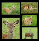 Collage of red deer and fallow deer Royalty Free Stock Photography