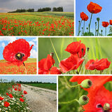Collage red poppies Royalty Free Stock Images