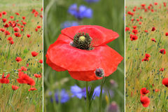 Collage of red poppies in the field and one poppy flower Stock Image