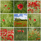 Collage with red poppies in Tuscany Royalty Free Stock Photos
