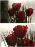 Collage with red tulips Stock Image