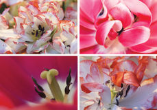 Collage of red tulips, macro. Royalty Free Stock Photo