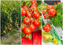 Collage of ripe organic tomatoes Royalty Free Stock Photos
