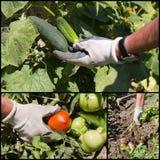 Collage of ripe vegetable in garden Stock Photos