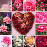Collage of rose blossoms and rose flower heart. In the middle Stock Images