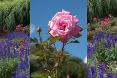 Collage - rose and lavender Royalty Free Stock Photography
