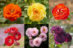 Collage from roses Stock Photography