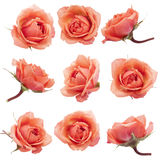 Collage with roses  . Royalty Free Stock Photos