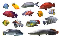 Collage of sea and river fish exotic fish on white background isolated. Close-up Royalty Free Stock Photos
