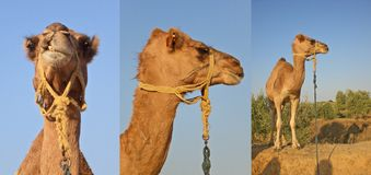 Collage from several photos of camels Stock Photography