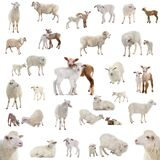 Collage of sheep in various situations isolated on a white