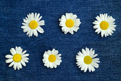Collage with six chamomile flowers on blue denim. Background Royalty Free Stock Photography