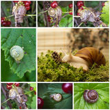 Collage with snails Royalty Free Stock Photography