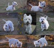 Collage sobre un westy. imagenes de archivo