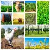 Collage som föreställer flera lantgårddjur och jordbruksmark royaltyfria bilder