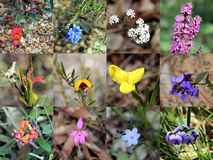 Collage of  South West Australian Native Plants. The collage of south west Australian native wildflowers displays the yellow  Flag Iris flower  , the  yellow and Stock Photo