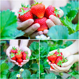 Collage strawberry farm Royalty Free Stock Images