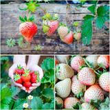 Collage strawberry farm Royalty Free Stock Photography
