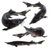 Collage sturgeon fish Royalty Free Stock Photo