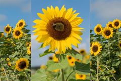 Collage - sunflowers and blue sky Stock Photos