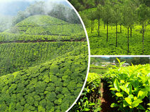 Collage of  tea plantations in Munnar ( India ) images - travel Royalty Free Stock Image