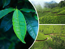 Collage of  tea plantations in Munnar ( India ) images - travel Stock Images
